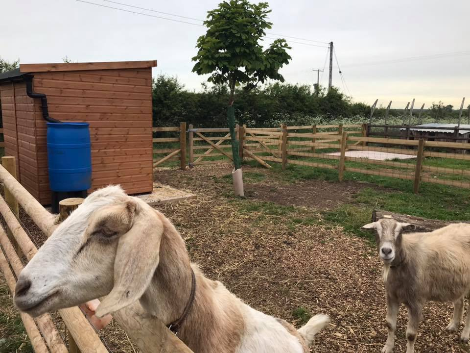 Goats new pen 2